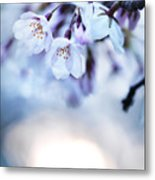 Cherry Tree Blossoms In Morning Sunlight Metal Print