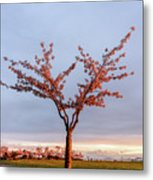 Cherry Tree Standing Alone In A Park, Lit By The Light  Metal Print