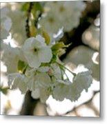 Cherryblossom Flowers 4 Metal Print