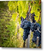Chianti Grapes Metal Print