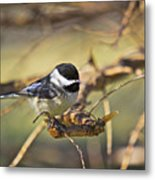 Chickadee-11 Metal Print by Robert Pearson
