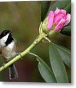 Chickadee By Rhododendron Bud Metal Print