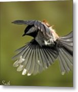 Chickadee In Flight Metal Print