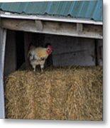 Chicken In Barn Metal Print