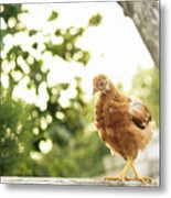 Chicken On Fence Metal Print