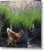 Chicken With Lavender  Metal Print