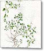 Chickweed Herb Metal Print