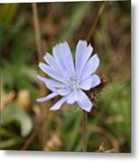 Chicory Blue Metal Print