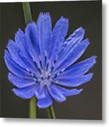 Chicory Flower Metal Print