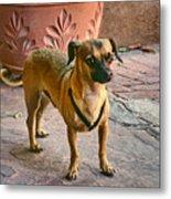 Chihuahua - Dogs Metal Print