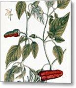 Chili Pepper, 1735 Metal Print
