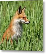 Chillin Vixen  Metal Print