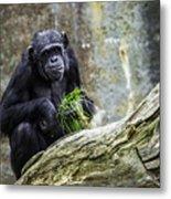 Chimpanzee Foraging Metal Print