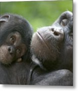 Chimpanzee Mother And Infant Metal Print