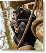 Chimpanzee, Nc Zoo Metal Print