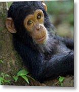 Chimpanzee Pan Troglodytes Baby Leaning Metal Print