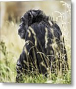 Chimpanzee Sitting In The Grass Metal Print