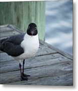Chincoteague Island - Great Black-headed Gull Metal Print
