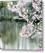 Chinese Cherry Blossoms  Metal Print