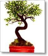 Chinese Elm Bonsai Tree Metal Print