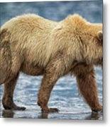Chinitna Bay Brown Bear Metal Print