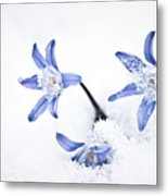 Chionodoxa - Glory Of The Snow Metal Print