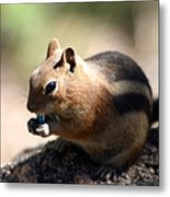 Chipmunk Eating A Piece Of Blue Candy Metal Print