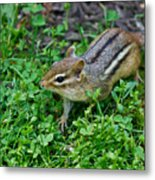 Chipmunk Metal Print