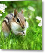 Chipmunk Saving Seeds Metal Print