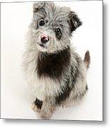 Chipoo Puppy Metal Print