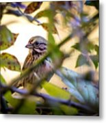 Chipping Sparrow In The Brush Metal Print