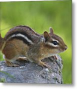 Chippy On The Move Metal Print