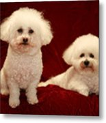 Chloe And Jolie The Bichon Frises Metal Print by Michael Ledray