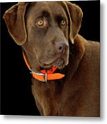 Chocolate Lab Metal Print by William Jobes