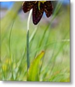 Chocolate Lily Two Metal Print