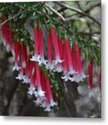 Christmas Bells 1 - Australian Native Fuchsia Metal Print