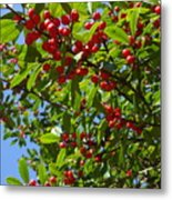 Christmas Berries Metal Print
