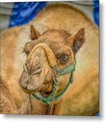 Christmas Camel On Call Metal Print