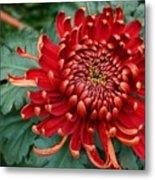 Christmas Chrysanthemum Metal Print