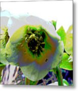 Christmas Rose  Metal Print