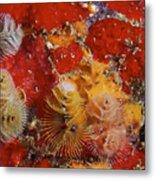 Christmas Tree Worms, Bonaire Metal Print