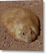 Chubby Prairie Dog Resting In A Shallow Hole Metal Print