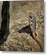 Chuckwalla - Crevice Metal Print