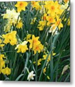 Circle Of Daffodils Metal Print