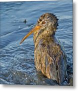 Clapper Rail Metal Print