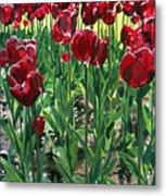 Claret Tulips  Metal Print