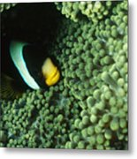 Clarks Anemonefish, Amphiprion Clarkii Metal Print by James Forte