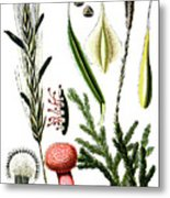 Claviceps Purpures. Recht Wolf's-foot Clubmoss, Stag's- Metal Print