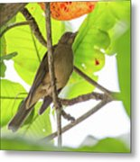 Clay-colored Robin Metal Print