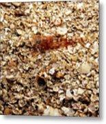 Cleaner Shrimp On Shell Covered Bottom Metal Print